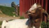 2014_06-06_fsny_gloria_goat_credit_farm_sanctuary_1_
