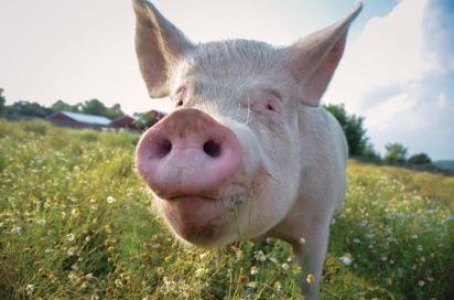 pig-farm-sanctuary-jpg